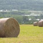 Ballot de foin utilisé pour nourrir les charolaises de la ferme pour produire une viande légèrement persillée