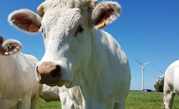 Charolaise en pature à proximité des éoliennes