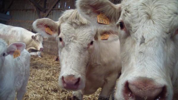 Elevage des charolaises à la ferme Saint-Jean à Long