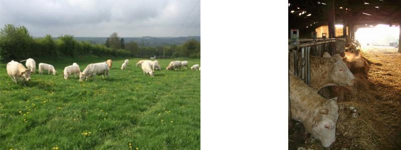 Charolaises mangeant de l'herbe en pâture à Long (Somme)